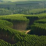 A culpa não é do eucalipto mas sim da falta de gestão florestal